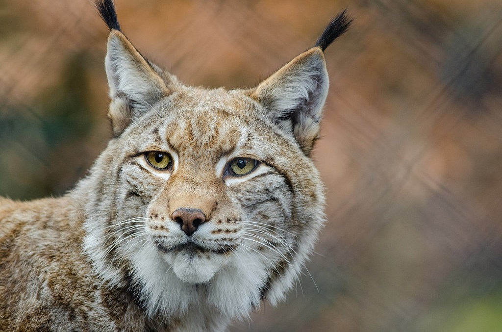 Scheues Pinselohr – Welcome back, Luchs!